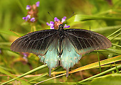 Green Swallowtails - Pipevine Swallowtails