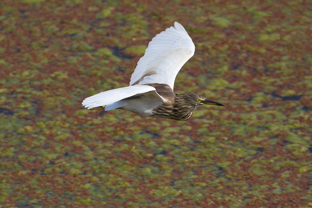 Indian Pond Heron - Ardeola grayii