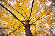 Mature tree in brilliant yellow fall foliage from below.