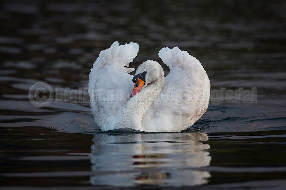 Mute Swan swimming in the sea   Knoppsvane svømmer i sjøen