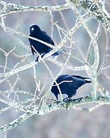 American Crow (Corvus brachyrhynchos). Image taken with a Nikon D850 camera and 600 mm f/4 VR lens.