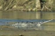 Gharial - Gavialis gangeticus