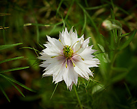 Love-in-a-Mist Flower (Nigella damascena). Image taken with a Nikon D850 camera and 60 mm f/2.8 macro lens