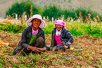 Potato farming, Doilungdeqen, Tibet (Xizang), China.