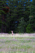 A Columbian Black-tailed Deer (Odocoileus hemionus columbianus) stands in a field at Ellison Provincial Park near Vernon, British Columbia, Canada