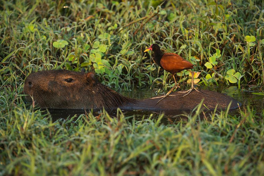 Capybara (Hydrochoerus hydrochaeris) & Wattled Jacana (Jacana jacana)<br /> Northern Pantanal<br /> Mato Grosso<br /> Brazil
