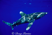 oceanic whitetip shark, Carcharhinus longimanus, Kona, Hawaii ( Central Pacific Ocean )