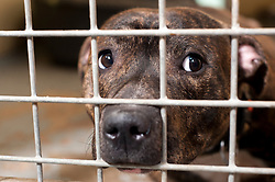 Now with Rotherham Dog rescue Harry P (short for Harry Potter) a young Staffy spent his early life locked in a cupboard.<br /> 121129<br /> <br /> 11 July 2012<br /> Image © Paul David Drabble