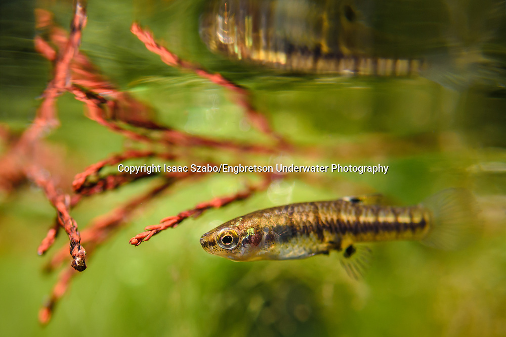 Least Killifish<br /> <br /> Isaac Szabo/Engbretson Underwater Photography