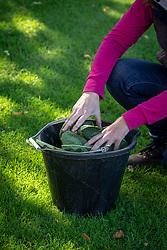 Making comfrey fertiliser. Adding leaves to bucket to soak in water