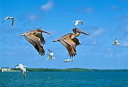 juvenile brown pelicans, Pelecanus occidentalis, and royal terns, Thalasseus maximus = Sterna maxima, in flight, John Pennekamp Coral Reef State Park, Key Largo, Florida, USA