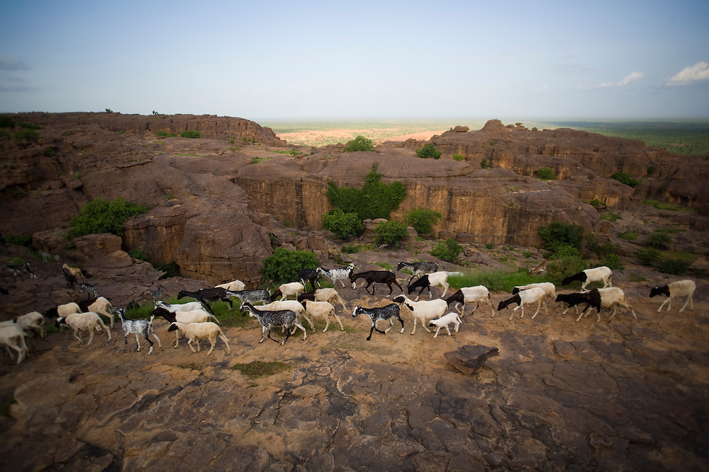 A flock of goats in the Bandiagara Escarpment with a boy sheppard. The Dogon Country is the most visited part of Mali with tourists visiting its tipical  villages that can be located on the cliff, on the sandy plain or in the rocky plateau