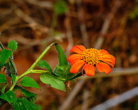 Mexican Sunflower. Image taken with a Fuji X-H1 camera and 200 mm f/2 lens + 1.4x teleconverter