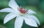 Clematis 'Wedding Day' - early large-flowered clematis