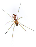 Neriene peltata - Female. A Linyphyid hammock- weaver that constructs webs in trees and tall bushes in woodland.