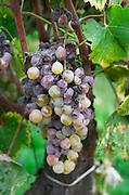 Bunches of ripe grapes. Chateau Climens. Sauternes, Bordeaux, France