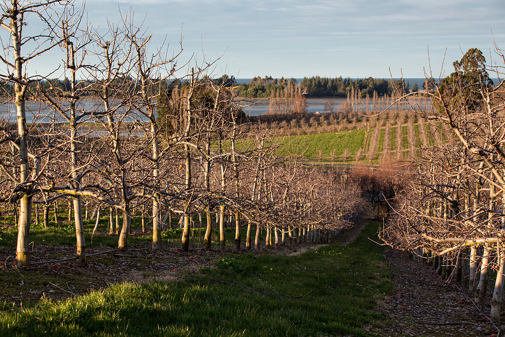bare trees in an apple orchard in Tasman