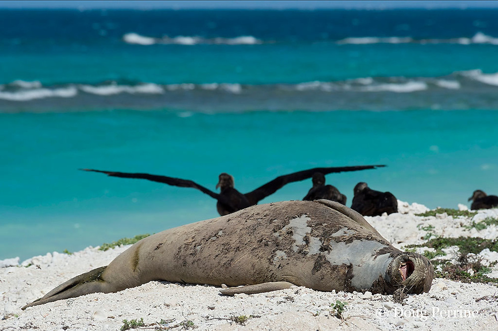 endemic Hawaiian monk seal, Monachus schauinslandi ( Critically Endangered Species ), yawns while resting on beach while shedding skin and fur during annual molt or moult, black-footed albatrosses, Phoebastria nigripes, in background, East Island, French Frigate Shoals, Papahanaumokuakea Marine National Monument, Northwest Hawaiian Islands, USA ( Central Pacific Ocean )
