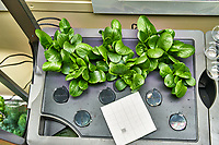 AeroGarden Farm 10-Left. Positions 01-06 Romaine Lettuce at 21 days. Image taken with a Leica TL-2 camera and 35 mm f/1.4 lens (ISO 500, 35 mm, f/8, 1/30 sec).