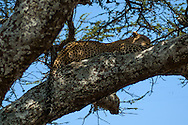 Leopard sleeping through the hot midday sun in Tanzania