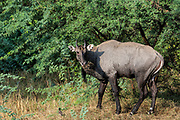 Nilgai or Blue Bull - male (Boselaphus tragocamelus)<br /> Bharatpur National Park or Keoladeo Ghana Sanctuary. Rajasthan. INDIA<br /> RANGE & HABITAT: Forest, scub and near cultivation in India from the Himalayan foothills to Karnataka in the south. SW Nepal and Pakistan.<br /> These antelope are large with a shoulder height of 120-150cm. The males are metallic blue-grey and the females and young are tawny. They are shy animals active day or night. The males are solitary or form all male herds. Females and young form herds of 4 - 10 animals. They feed on grass, fruit, flowers, leaves and crops. They are abundant and the Hindus regard the Nilgai as sacred, as it is considered to be related to domestic cattle.