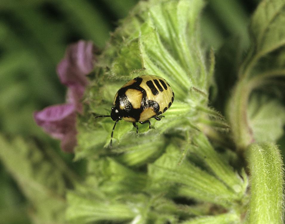 Pied Shield Bug - Sehirus bicolor