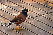 Common myna (or Indian Myna Acridotheres tristis). This bird is native to southern Asia from Afghanistan to Sri Lanka. The Myna has been introduced in many other parts of the world and its distribution range is on the increase to an extent that in 2000 the Species Survival Commission (IUCN) declared it among the World's 100 worst invasive species. and one of only three birds in this list. It is a serious threat to the ecosystems where introduced. Photographed in Israel in December