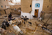 """A woman tends to her goats before milking them in the town of Shibam, Hadhramawt, Yemen. Shibam is a World Heritage Site. The old walled city with it's talk mud brick buildings has been called 'the Manhattan of the desert""""."""