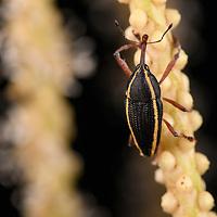 Weevil (Cholus ellipsifer) on palm inflorescence. Yasuní National Park, Ecuador.