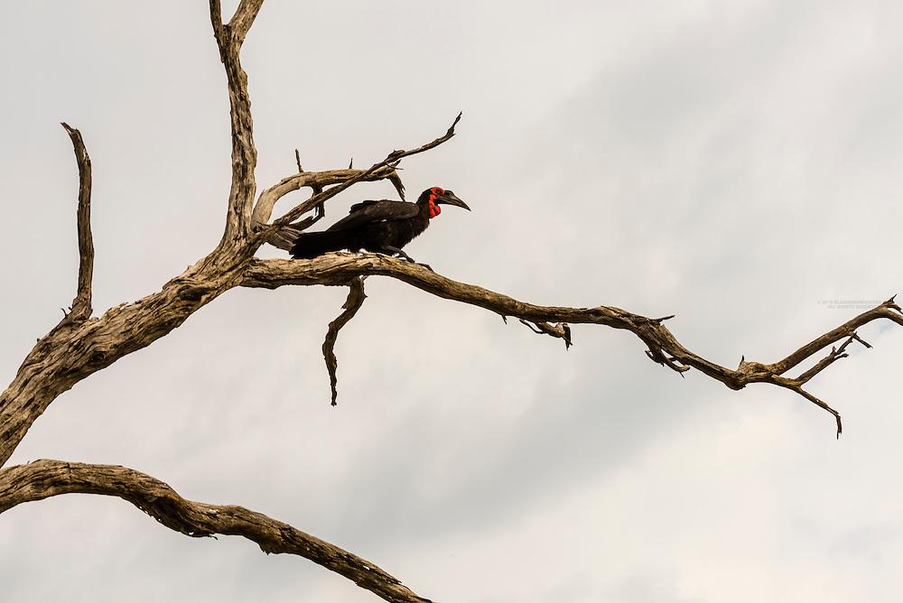 Southern ground hornbill, Kwando Concession, Linyanti Marshes, Botswana.