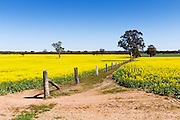 wire fence running through the middle of a canola field near St Arnaud, Victoria, Australia <br /> <br /> Editions:- Open Edition Print / Stock Image