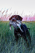 John Zeman's Field Champion German shorthair, Luna retrives a sharptail during a Montana prairie grouse hunt.