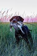 John Zeman's Field Champion German shorthair, Luna retrives a sharptail during a Montana prairie grouse hunt.