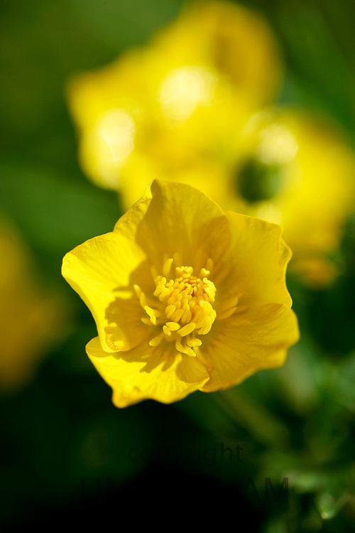 Buttercup flower, England