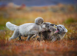 Arctic Fox (Alopex lagopus) playing young foxes, Spitsbergen, Svalbard