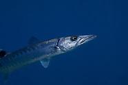 Sphyraena barracuda (Great Barracuda)
