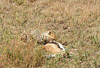 A Cheetah, Acinonyx jubatus jubatus, starts to eat a Thomson's Gazelle, Eudorcas thomsonii, that it has killed in Serengeti National Park, Tanzania