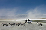 A herd of Common Plains Zebra (Grant's) by the salt pan of Lake Magadi in the  Ngorongoro Crater, Tanzania