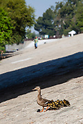 Mother Duck and ducklings, Los Angeles River, Glendale Narrows
