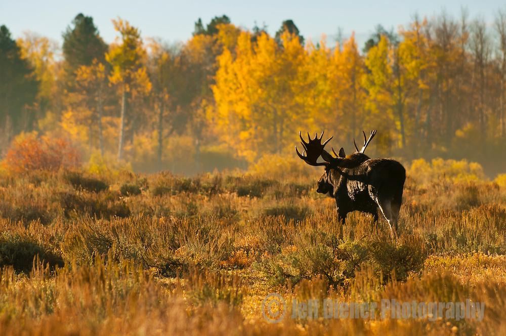 A bull moose walks through a meadow in Grand Teton National Park, Wyoming.