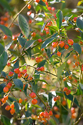 The berries of Euonymus myrianthus - Many-flowered spindle
