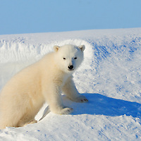 Three-month-old polar bear cub at the opening to its den in Wapusk National Park south of Churchill Manitoba Canada near the Hudson Bay.