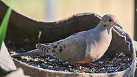 Mourning Dove (Zenaida macroura). Image taken with a Nikon D850 camera and 500 mm f/4 VR lens.
