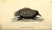 aculeated Ant-Eater from General zoology, or, Systematic natural history Part I, by Shaw, George, 1751-1813; Stephens, James Francis, 1792-1853; Heath, Charles, 1785-1848, engraver; Griffith, Mrs., engraver; Chappelow. Copperplate Printed in London in 1800. Probably the artists never saw a live specimen