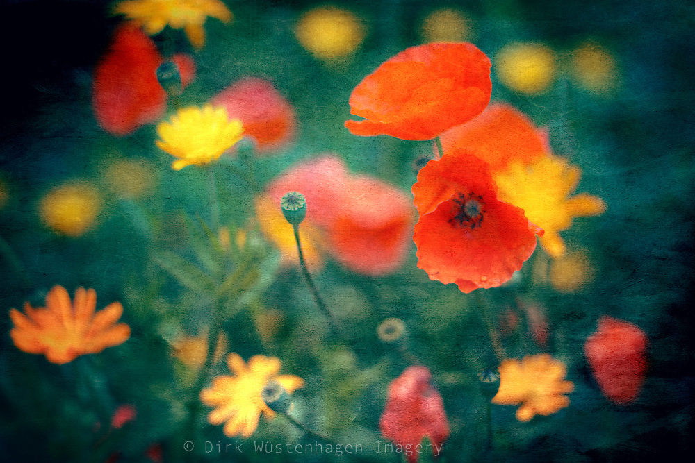 Flower bed with daisies and poppies.<br /> <br /> Prints & more: http://society6.com/DirkWuestenhagenImagery/Summer-Flowers-bmK_Print
