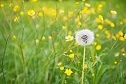 Wild meadow field with Common Dandelion Seed Head, dandelion, Taraxacum officinale, Lentiira, Finland