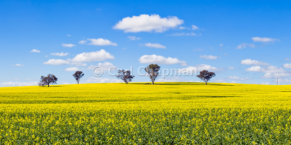 trees on hill overlooking canola crop under clouds near Brucedale, New South Wales, Australia. <br /> <br /> Editions:- Open Edition Print / Stock Image