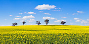 trees on hill overlooking canola crop under clouds near Brucedale, New South Wales, Australia. <br />