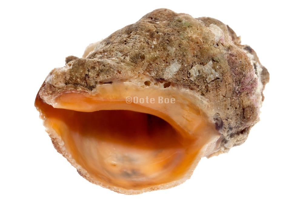 natural formed seashell still life