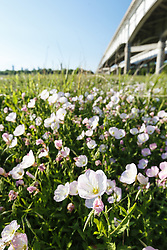 Pink Evening Primrose and Interstate Highway 45, Great Trinity Forest, Dallas, Texas, USA